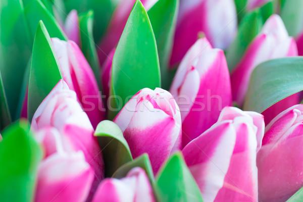 Rózsaszín fehér tulipánok zöld levelek természet tavasz Stock fotó © vapi