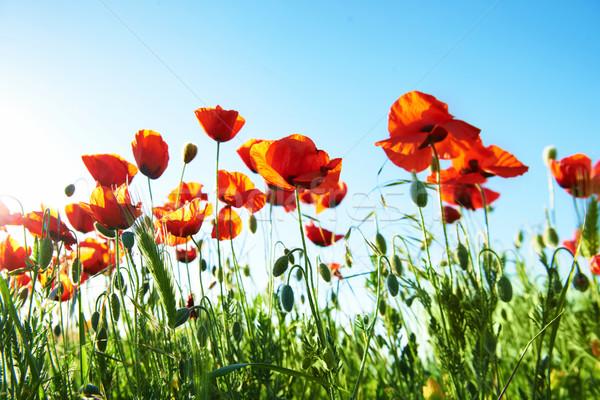 Field of beautiful red poppies Stock photo © vapi