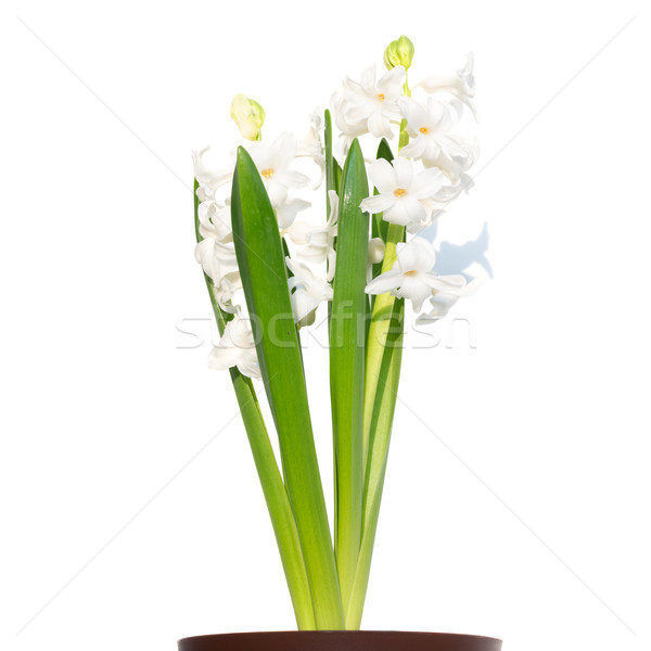 Boeket bloemen hyacint pot groene bladeren geïsoleerd Stockfoto © vapi