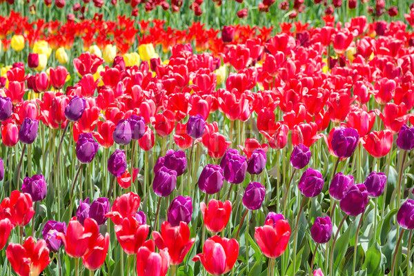 Veel kleurrijk tulpen veld park bloemen Stockfoto © vapi