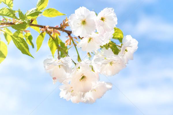Biały sakura kwiaty wiosną drzewo kwiat Zdjęcia stock © vapi