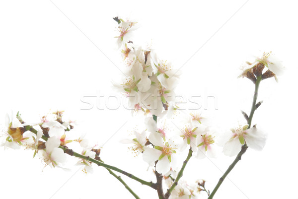 Plum-tree white flowers. Stock photo © vapi