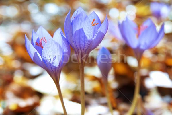 çiğdem mavi çiçek safran orman çiçek doğa Stok fotoğraf © vapi