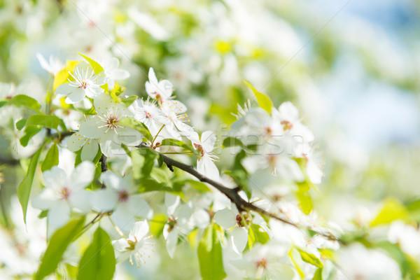 White flowers on a blossom cherry tree Stock photo © vapi