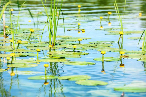 Su zambak gölet çiçekler mavi çiçek Stok fotoğraf © vapi