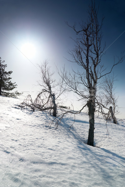 Trees under snow with sunshine star. Stock photo © vapi