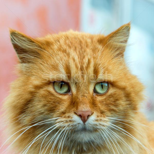 Czerwony kot zielone oczy patrząc kamery tle Zdjęcia stock © vapi