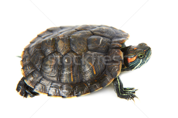 Red ear turtle Stock photo © vapi