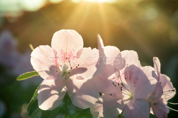 Spring flowers azalea in sun light Stock photo © vapi