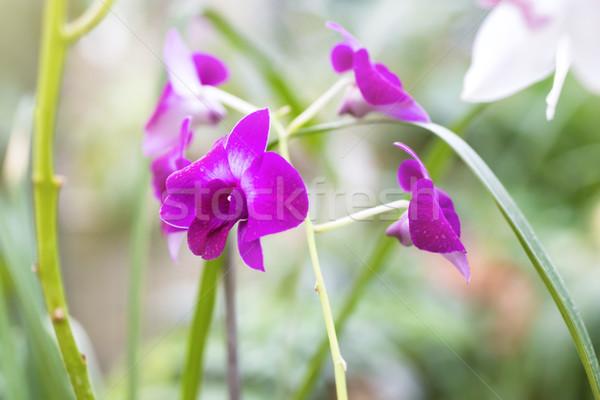 Foto stock: Roxo · orquídeas · tropical · floresta · belo