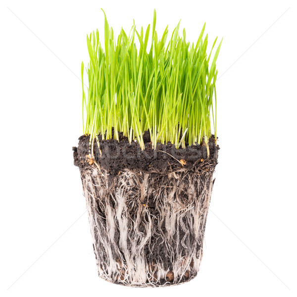 Green grass with roots Stock photo © vapi