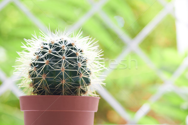 Green cactus Stock photo © vapi