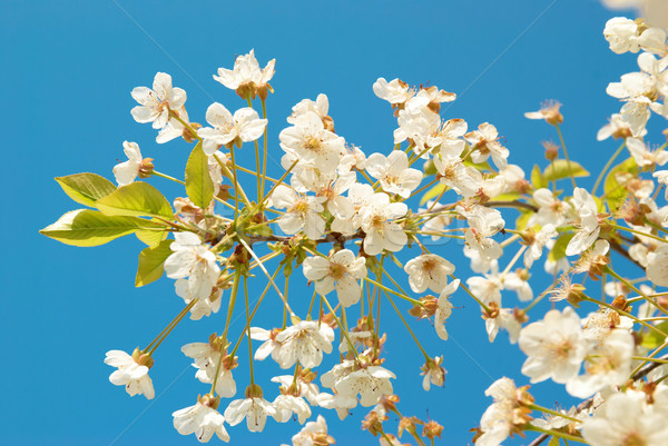White cherry flowers Stock photo © vapi