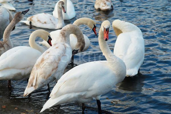 白 家族 愛 自然 青 羽毛 ストックフォト © vapi