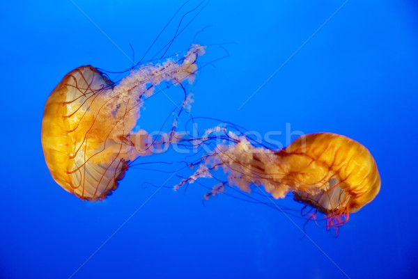 Oranje kwal aquarium twee Blauw water Stockfoto © vapi