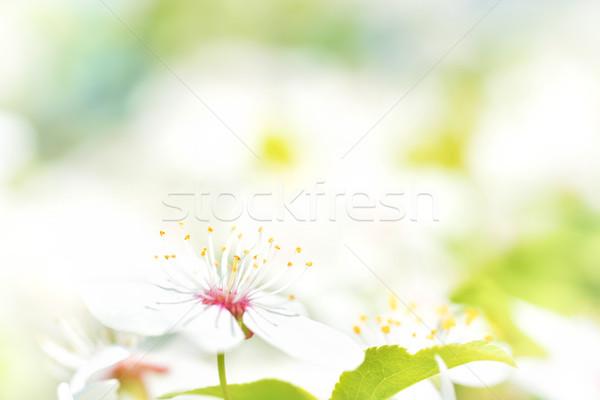 白い花 桜 桜 ツリー ソフト 緑 ストックフォト © vapi