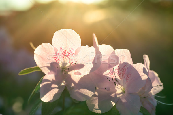 Lentebloemen azalea zon licht stralen bloem Stockfoto © vapi
