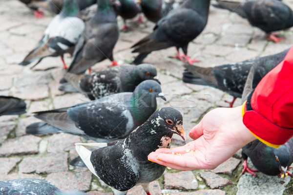Stock photo: Many pigeons feeding from a hand
