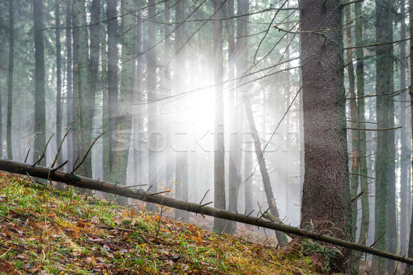Mysterious fog in the green forest  Stock photo © vapi