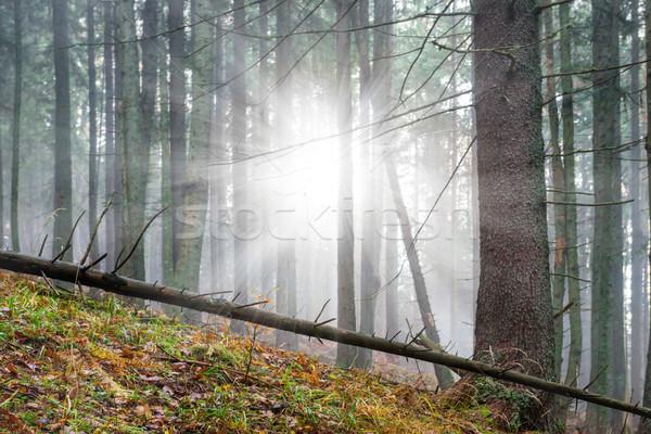 Misterioso nebbia verde foresta pino alberi Foto d'archivio © vapi