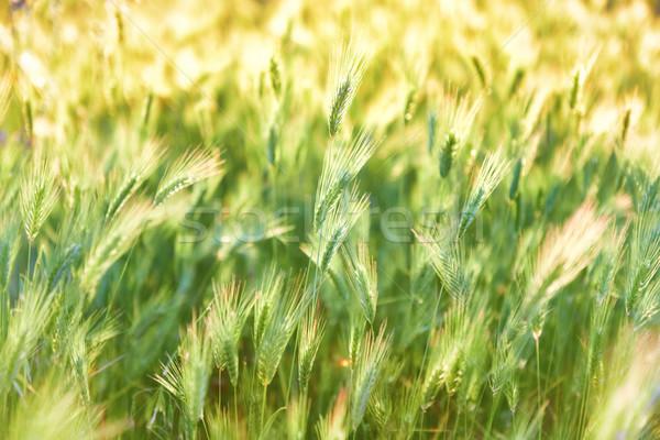 Green grass texture on sunset Stock photo © vapi