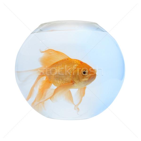 Arany hal akvárium izolált fehér természet Stock fotó © vapi