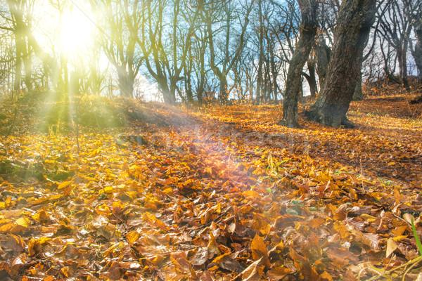Stock fotó: Reggel · ősz · erdő · nagy · tölgy · fák