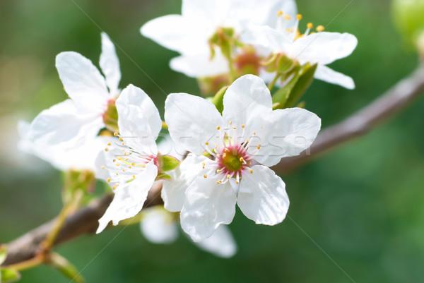 Pruim witte bloemen zachte hemel bloem voorjaar Stockfoto © vapi