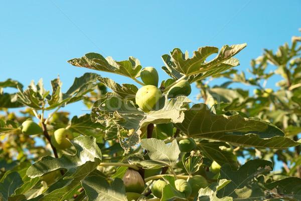 Fig tree Stock photo © vapi
