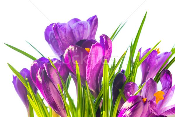 Primo fiori di primavera bouquet viola isolato bianco Foto d'archivio © vapi