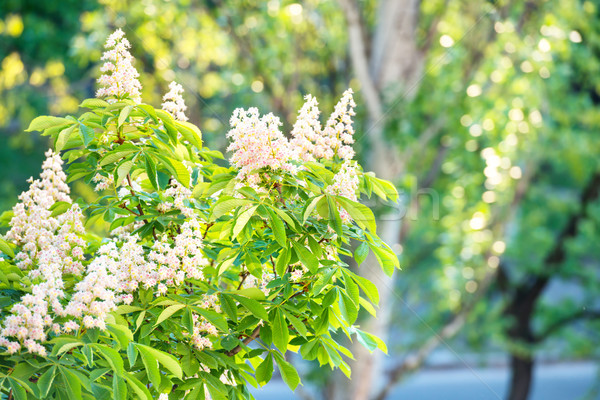 Blossom chestnut tree in flowers Stock photo © vapi