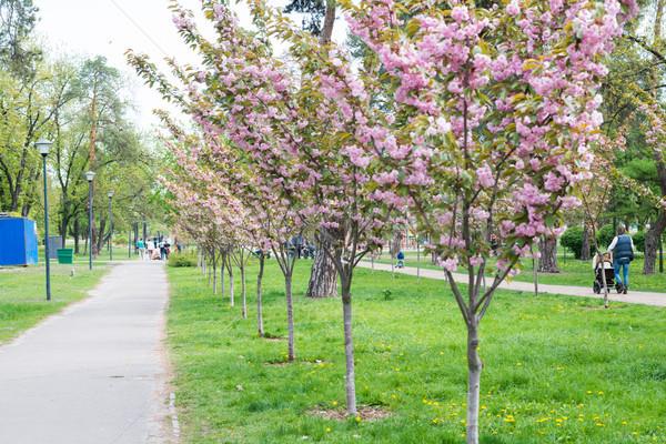 çiçek sakura kiraz ağaçlar park yürüyüş Stok fotoğraf © vapi