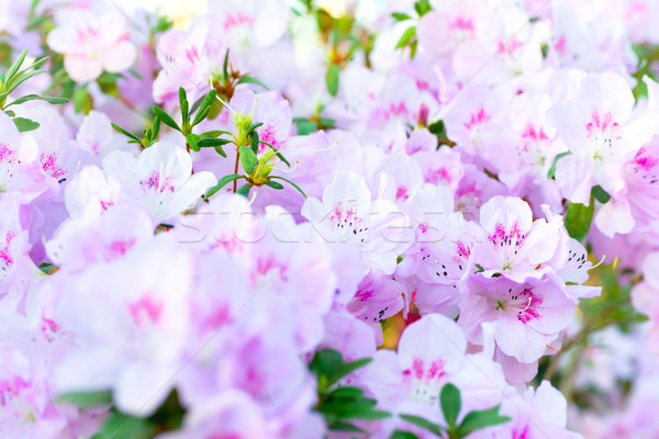 Pink spring flowers azalea Stock photo © vapi