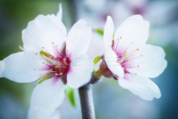Mandula fehér virágok puha fókusz virág természet Stock fotó © vapi