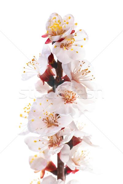 Mandula fehér virágok izolált fehér virág természet Stock fotó © vapi