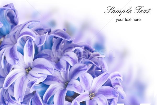 Foto stock: Azul · belo · flores · isolado · branco · primavera