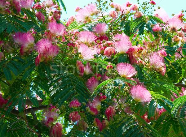 Flowers of acacia (Albizzia julibrissin). Stock photo © vapi