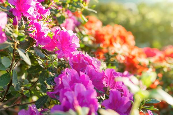 Stock photo: Spring flowers azalea