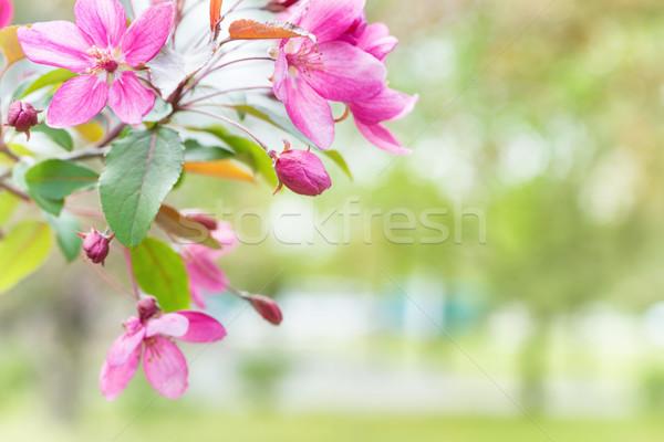çiçek pembe sakura çiçekler bahar Stok fotoğraf © vapi