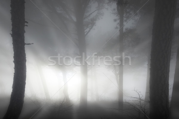 Misty forest Stock photo © vapi