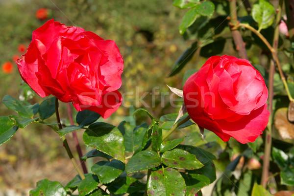 Two red rose Stock photo © vapi