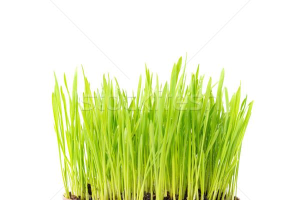 Green grass texture in earth Stock photo © vapi