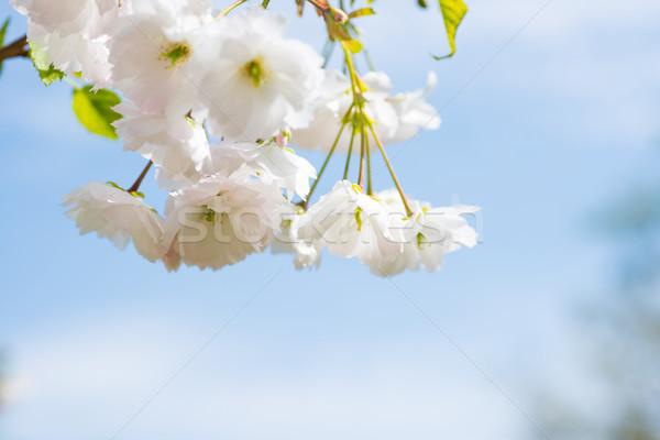 Biały sakura kwiaty wiosną wiśniowe drzewo Zdjęcia stock © vapi