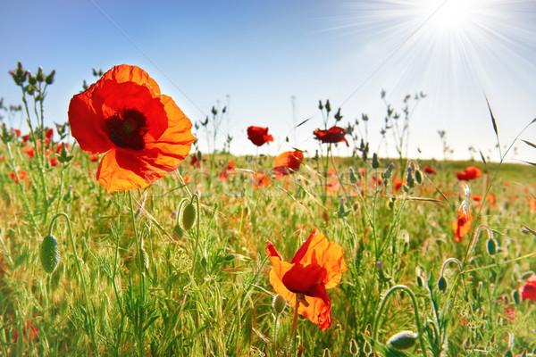 Stockfoto: Mooie · Rood · klaprozen · groene · veld · rode · bloemen