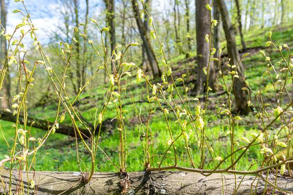 Nieuwe groene voorjaar boom bos Stockfoto © vapi