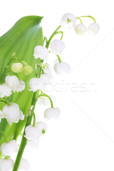 Lilies of the valley Stock photo © vapi