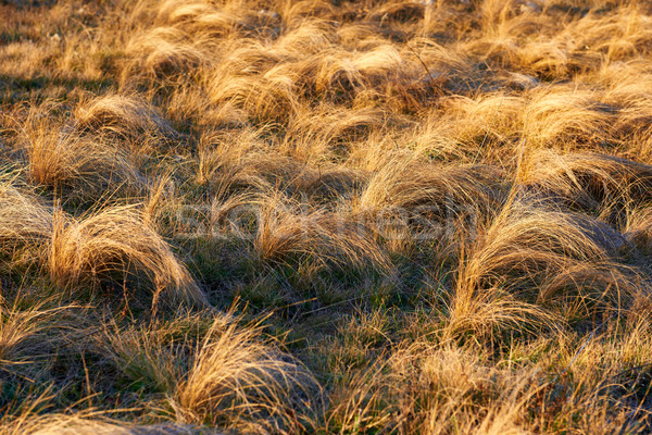 Field of yellow dry feather grass Stock photo © vapi