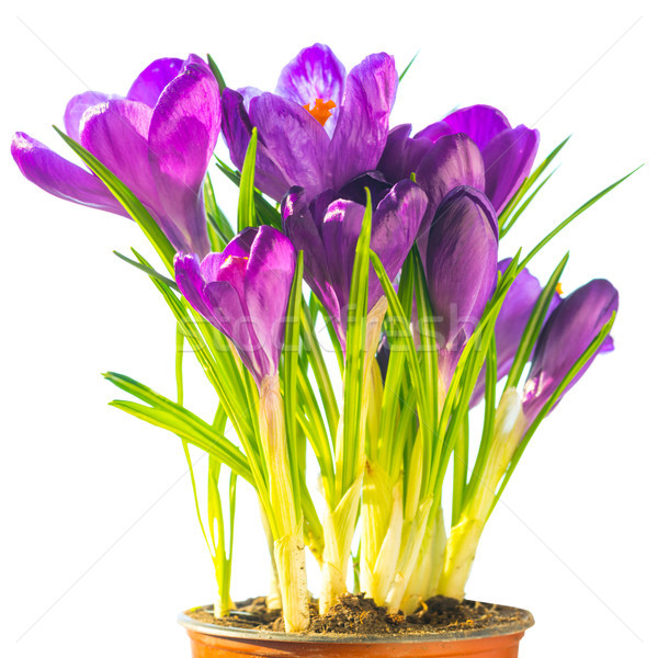 Bouquet of purple flowers crocus Stock photo © vapi