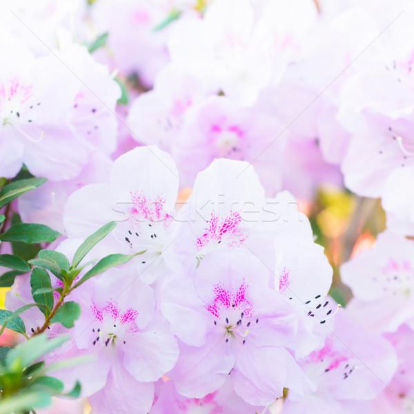 Roze lentebloemen azalea bloem natuur licht Stockfoto © vapi