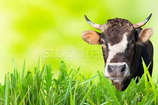 Cow grazing on farm field Stock photo © vapi